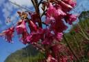 9公分山樱花,福建山樱花