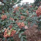 大红袍花椒苗,花椒