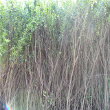 丛生花石榴