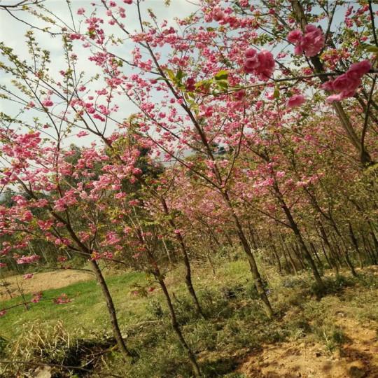 3公分冬樱花,精品樱花