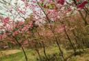 3公分冬樱花