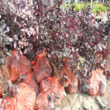 30公分红花继木