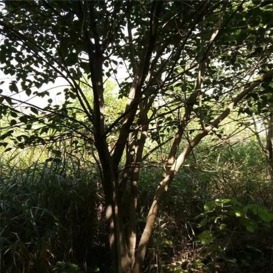 丛生大叶女贞,冠幅2米
