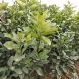 各类自育柑橘苗