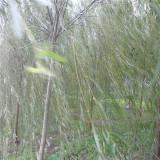 速生柳,柳树