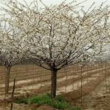 樱花,日本早樱,精品樱花