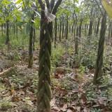 常绿发财树