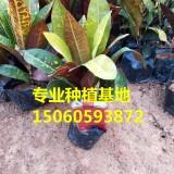 变叶木 规格(高度20-30cm,冠幅15-20cm)农户直销,量大价优