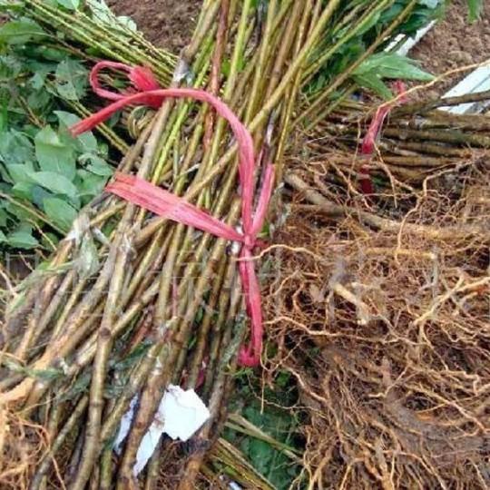 优质葡萄树苗