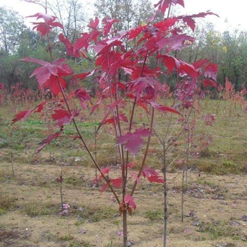 优质1.6米高红枫