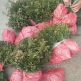 仔播红豆杉优质苗