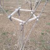 丛生丝棉木