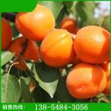 杏树苗价格|山东御景苗木种植中心