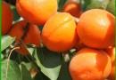 杏树苗价格 山东御景苗木种植中心