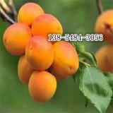 嫁接杏树苗价格-哪里有卖杏树苗的