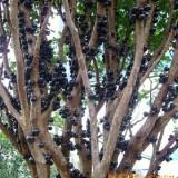 嘉宝果、树葡萄、嘉宝果树苗、多宝果