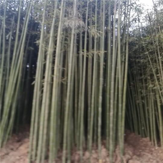 2公分刚竹