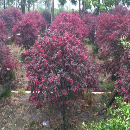 高50公分红花继木