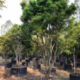 嘉宝果 台湾树葡萄 高4米嘉宝果