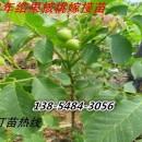 供应3公分4公分5公分6公分7公分8公分核桃树价格