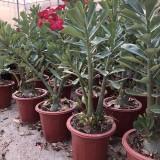 沙漠玫瑰  25-30公分高沙漠玫瑰