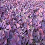 紫叶榨浆草