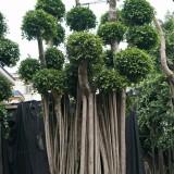 高度6-7米原叶小叶榕桩头