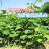 供应4公分-5公分猕猴桃树苗价格