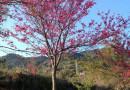 8公分福建山樱花