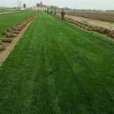 草坪早熟禾