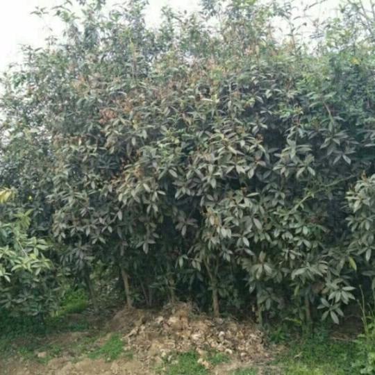 桂花树(金桂)