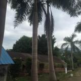 大王椰子杆高5米大量批发