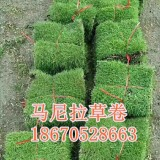 深圳草皮价格马尼拉草皮