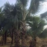 霸王棕 (杆高1米-3.3米)霸王棕价格