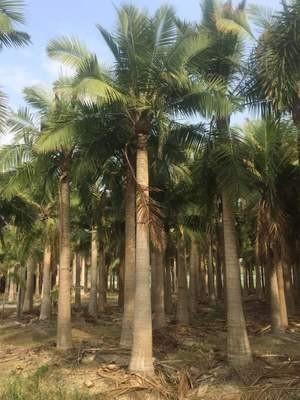 国王椰子杆高3.5米大量供应批发