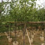 福建山樱花地苗移植苗大量供应
