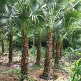 蒲葵杆高3米大量批发供应