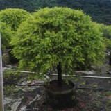 黄金香柳黄金宝树各种规格批发13599656861