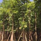 大叶榕10-15公分大量批发供应