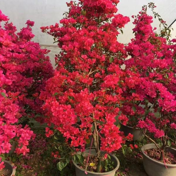 勒杜鹃 三角梅 光叶子花 高1.8米勒杜鹃