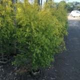 黄金香柳黄金宝树