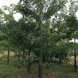 美丽异木棉美人树5-10公分批发13599656861
