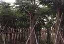 台湾栾树各种规格批发13599656861