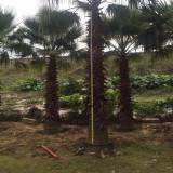 老人葵价格  丝葵 加州蒲葵 华盛顿棕榈(华棕杆高3米)老人葵批发