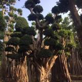 小叶榕桩景 红皮榕树  榕树价格 米径30公分小叶榕