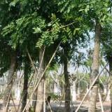 桃花心木各种规格批发13599656861