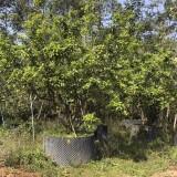 枇杷树各种规格批发13599656861