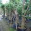 龙眼树各种规格批发13599656861