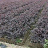 红花继木40各种规格批发13599656861