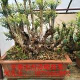 安徽池州赤楠盆景